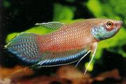 Betta, Blue Band Mouthbrooder <em>(Betta enisae)</em>