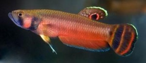 Betta, The Brunei Beauty  <em>(Betta macrostoma)</em>