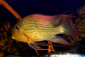 Cichlid, Red Striped Eartheater <em>(Geophagus surinamensis)</em>