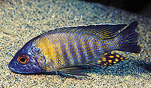 Cichlid, Orange Collar Peacock <em>(Aulonocara gertrudae)</em>