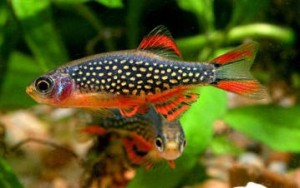 "Galaxy Rasbora <em>(Microrasbora sp. ""Galaxy"")</em>"