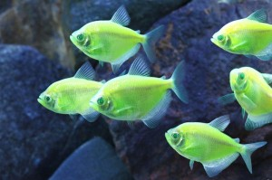 Electric Green Tetra