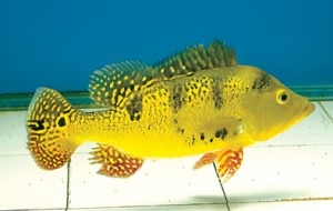 Yellow Peacock Bass<em>(Cichla kelberi)</em>