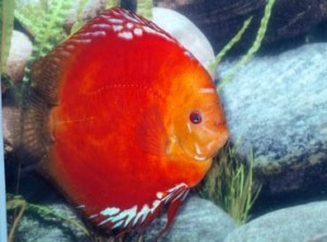 Solid Red Discus,    Premium Stendker Discus from Germany