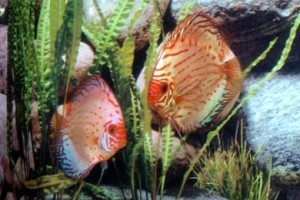Silver Pigeon Discus, Premium Stendker Discus from Germany