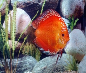 Red Malboro Discus