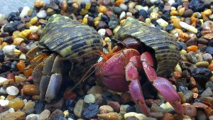 Purple Land Crab <em>(Chamaecyparis brevimanus)</em>