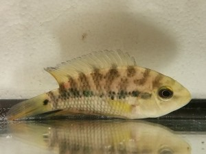 Red Ceibal Cichlid (Australoheros sp. red ceibal)