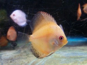 New Discus Fish
