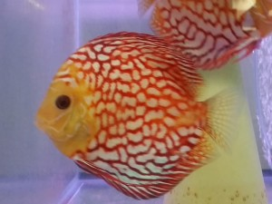 Stendker Discus arrive October 2015